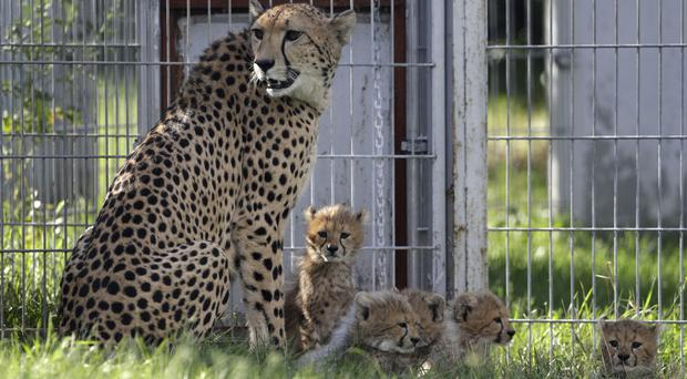 Cheetah quintuplets rest at their enclosure with their mother Savannah at the zoo in Prague (Petr David Josek/AP)