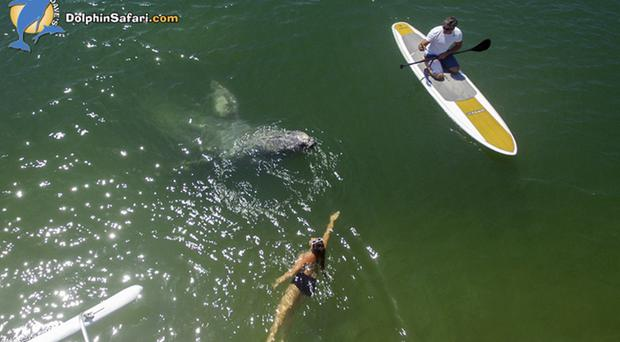 The baby whale meets a swimmer and a kayaker in Dana Point Harbour (DolphinSafari.com/AP)