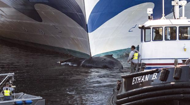 A tugboat pulls the whale from the bow of the Grand Princess cruise ship in Ketchikan, Alaska (Ketchikan Daily News/AP)