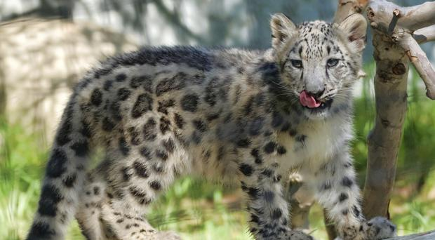 The snow leopard is no longer endangered. It's still at risk