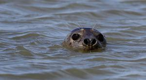 Stock picture of a harbour seal