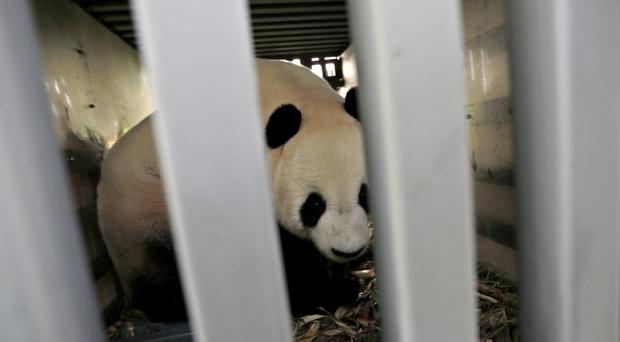 Male giant panda Cai Tao arrives in Indonesia from China with his female companion, Hu Chun (AP Photo/Dita Alangkara)