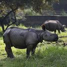 Rhino calves grazing after their arrival at the zoo (AP)