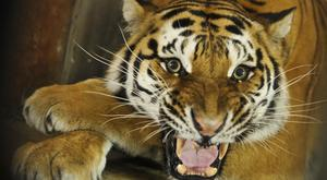 A tiger which escaped from a Paris circus has been killed