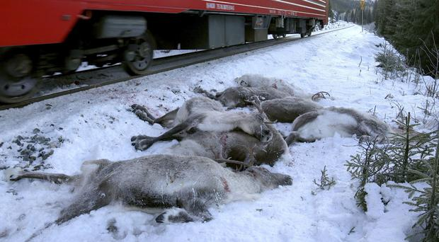 A train passes by dead reindeer, near Mosjoen, North of Norway (AP)