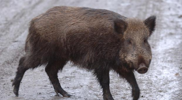 The man was attacked by a wild boar