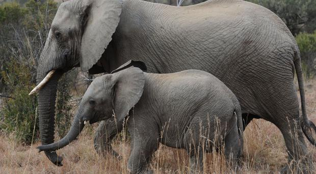 Elephant ivory is in high demand