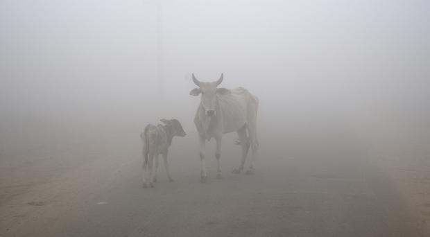 A cow and its calf are surrounded by thick fog on the outskirts of New Delhi (AP)