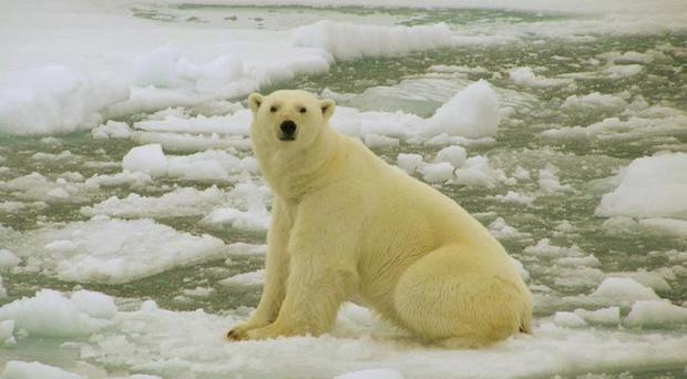 File photo of a polar bear in the Barents Sea, Arctic