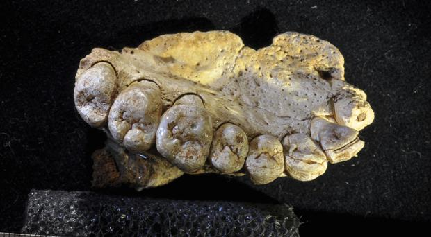 A portion of the upper left jaw and teeth from the Misliya-1 fossil (Gerhard Weber/University of Vienna via AP)