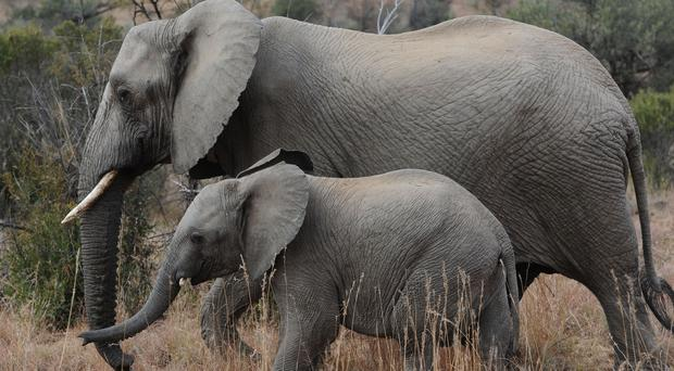 Poachers are changing tactics from shooting the animals