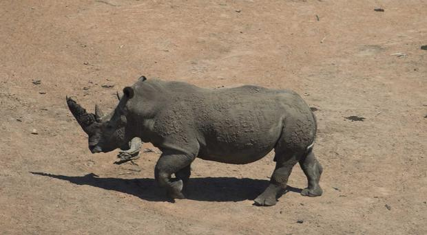 A rhino running free in Kruger National Park (Paul Edwards/PA)