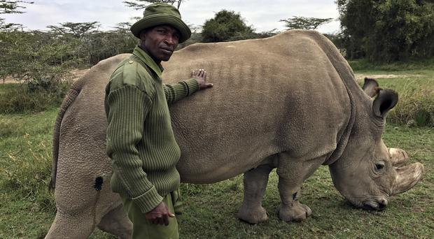 Wildlife ranger Zachariah Mutai takes care of Sudan, the world's last male northern white rhino (AP)