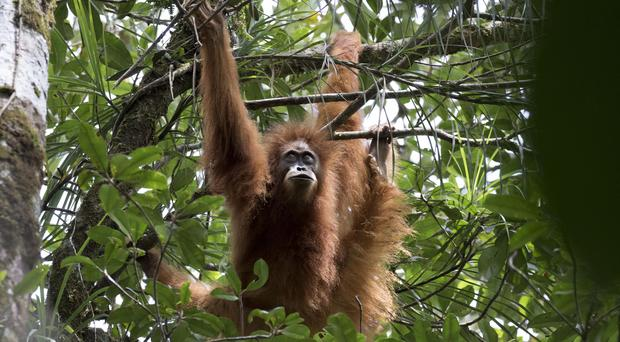 An orangutan in Indonesia (Maxime Aliaga/Australian National University/PA)