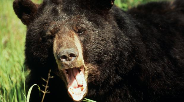 A bear that was roaming around an area of Michigan has been captured (YJ Rey-Millet/WWF)