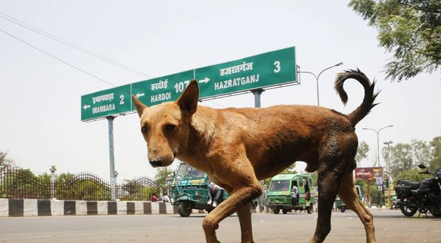 A stray dog in Lucknow