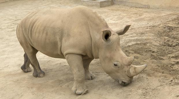 Southern white rhino Victoria at the San Diego Zoo Safari Park in Escondido (Tammy Spratt/San Diego Zoo Global via AP)