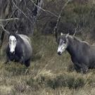 Two wild horses stand in an open field in Kosciuszko National Park, New South Wales (AP)