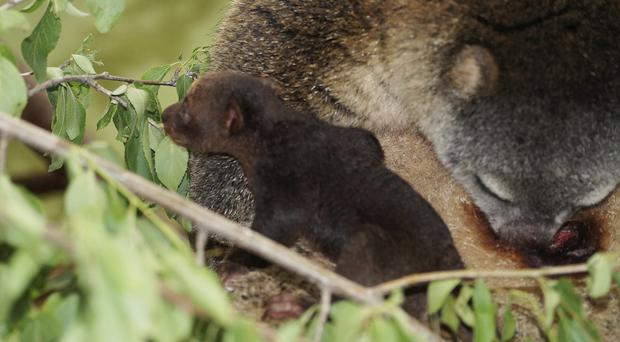 A tiny bear cuscus with its mother in Poland (Monika Gorska/AP)