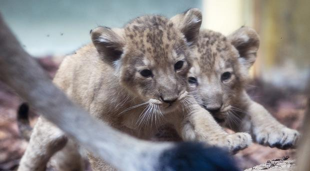 Two lion babies walk together in the zoo in Frankfurt (AP)