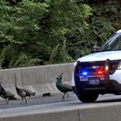 Peacocks which escaped from the Philadelphia Zoo onto a busy road (CBS 3 Philly KYW-TV via AP)