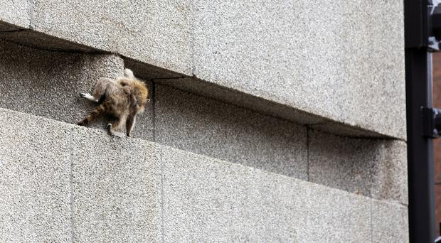 The raccoon scrambled along a ledge on the side of the building (Evan Frost/AP)