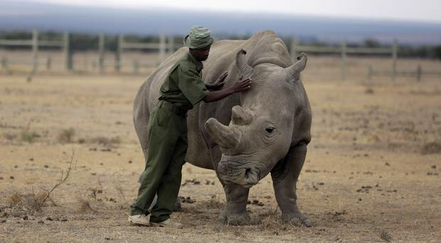 Fatu is one of only two female northern white rhinos left in the world (AP Photo/Sunday Alamba, file)