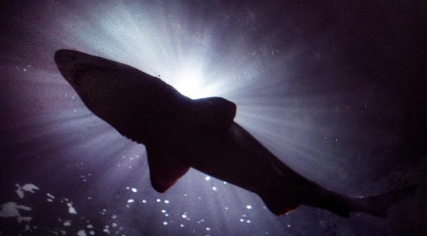 New types of sharks could be heading to UK waters as a result of warming seas, experts have said