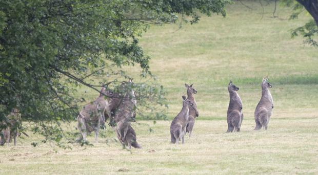 Kangaroos in the grounds of Government House in Canberra (Arthur Edwards/Sun/PA)
