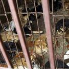 Dogs kept in a cage (AP Photo/Na Son Nguyen, File)
