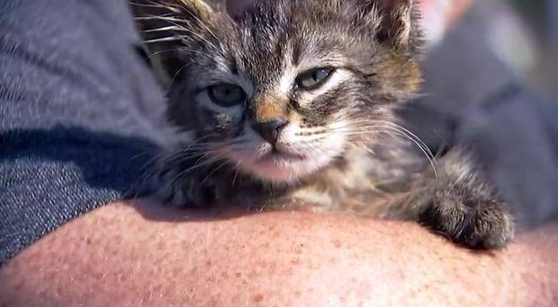 A small kitten that was recently found glued to a busy road near Silverton, Oregon (Fox 12 Oregon/AP)