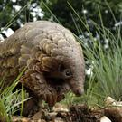 A pangolin looks for food on a private property in Johannesburg (AP)