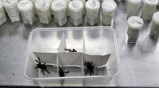 Tarantulas inside plastic containers are shown at the Philippine Department of Environment and Natural Resources in Manila (AP Photo/Aaron Favila)