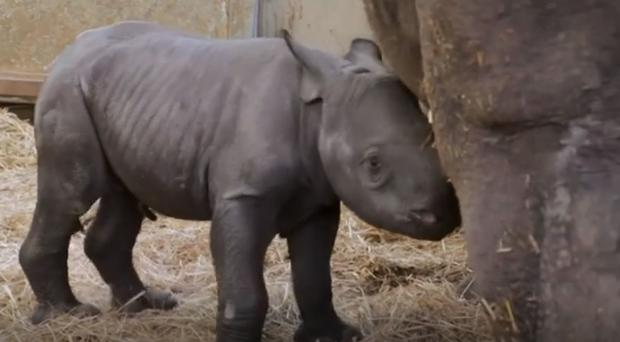 The new baby rhino was born on Friday afternoon at a zoo in Iowa (Screengrab/Blank Park Zoo)