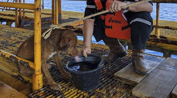 The dog is being cared for by an oil rig crew (Vitisak Payalaw via AP)