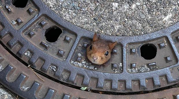 The squirrel got stuck in a manhole cover (Feuerwehr Dortmund/dpa via AP)