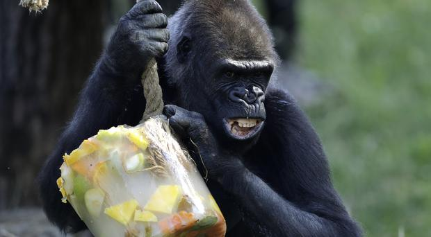 A Western lowland gorilla holds on to her ice cream, prepared from fruits and vegetables, on a hot and sunny day at the Prague Zoo, Czech Republic (Petr David Josek/AP)
