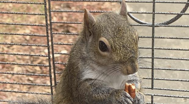 The squirrel after it was taken from the suspect (Limestone County Sheriff's Office/AP)