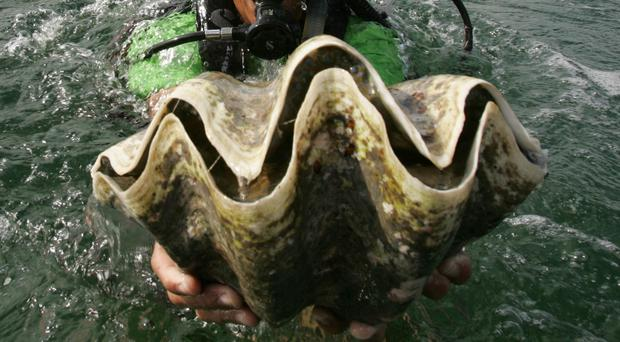 File picture of a diver holding a giant clam Bullit Marquez/AP)