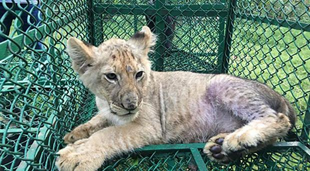 A lion cub found in India by the Wildlife Crime Control Bureau and West Bengal Forest Department (Interpol via AP)