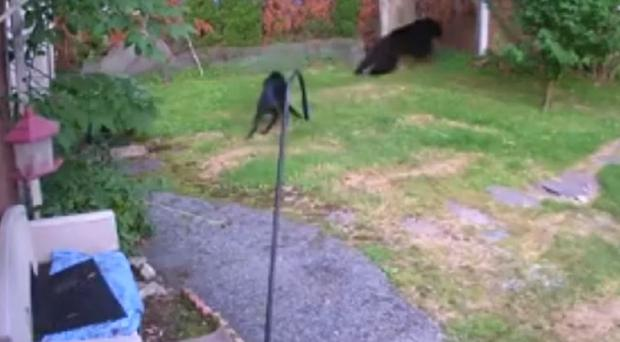 The bear was chased away by a dog less than half its size (Mark Stinziano/AP)