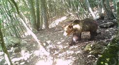 The brown bear has eluded capture for a third day (Autonomous Province of Trento via AP)