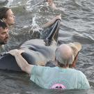 Georgia Department of Natural Resources personnel and beachgoers struggle to keep a short-fin pilot whale from crashing into the seawall on St Simons Island (Bobby Haven /The Brunswick News via AP)