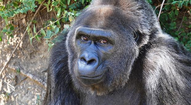 Trudy was believed to be the oldest Western Lowland gorilla in captivity (Catherine Hopkins/Little Rock Zoo/AP)