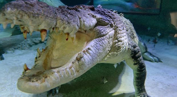 An orthopaedic plate of a type used in human surgery has been found in a crocodile (Anthony Devlin/PA)