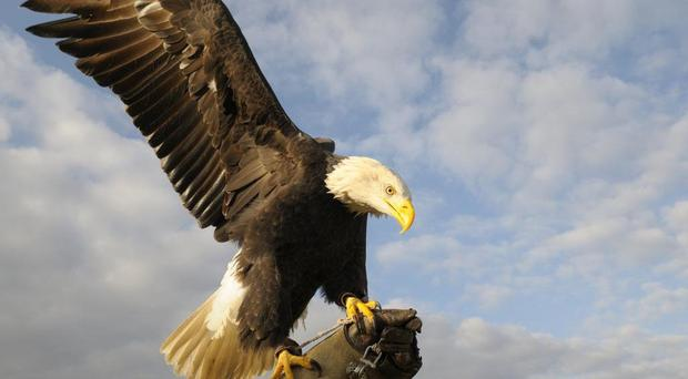 A bald eagle named (Phoenix Falconry/PA)