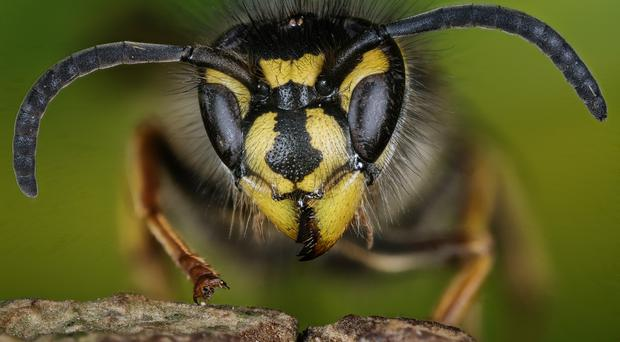 A wasp (iStock/Getty Images)