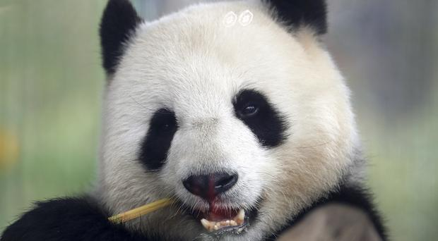 April file picture of Meng Meng eating bamboo at the zoo in Berlin, Germany (AP)