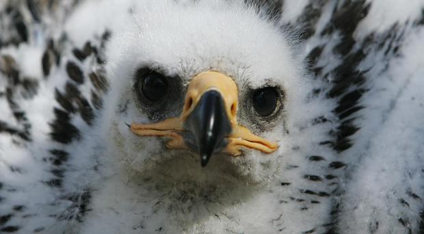 The wildlife group had fitted young eagles with transmitters programmed to send text messages (PA)