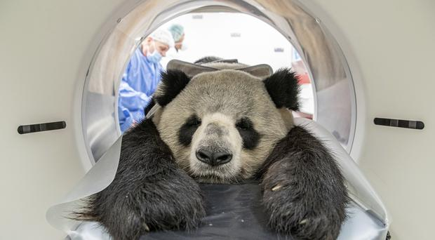 Jiao Ling is prepared for an examination (Berlin Zoo via AP)